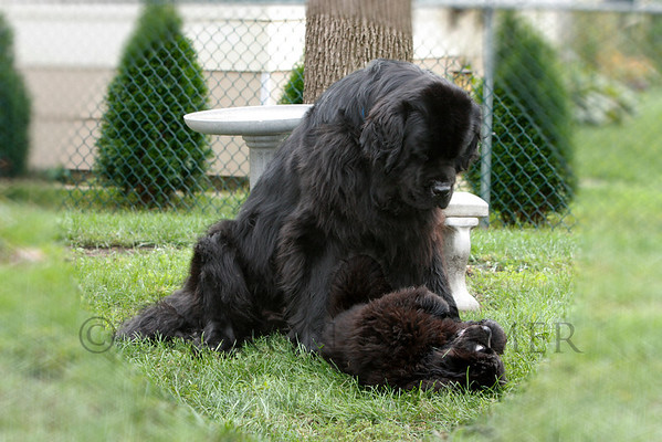 """I Am the Top Dog Here, Puppy!""""  ©  2008  Sharon Nummer  Watson is telling Bismarck not to get too big for his Newfie britches.   Watson was 4 years old and Bismarck was about 14 weeks old when this photo was taken.  The boys are now 6 and 2 and the very best of buddies!"""