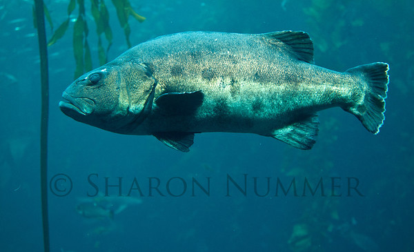 Fish in the kelp forest  © Sharon Nummer
