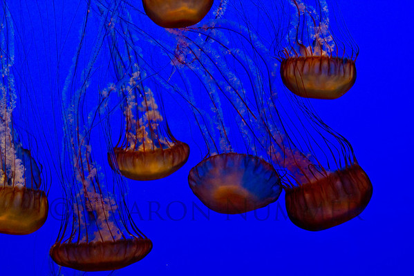 Jellyfish No. 2  © Sharon Nummer  Photographed at the Monterey Bay Aquarium.    Loved to watch their beautiful movement.