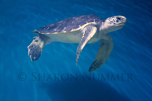 Sea Turtle  ©  Sharon Nummer I love watching the turtle swimming.  In reality, the huge tank was pretty dark, but I got lucky and was able to capture this guy with the wonderful lighting.